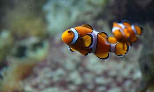 Poisson-clown (amphiprion ocellaris)