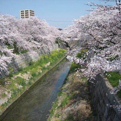 「かなえ小橋」から「かなえ橋」を望んだ桜が満開時の景色です。