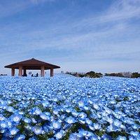 花の丘のネモフィラ (春) Nemophila Flowers in Flower Hill (Spring)