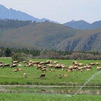 The Jersey herd making milk!