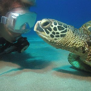 Friendly Turtles are abundant in Maui