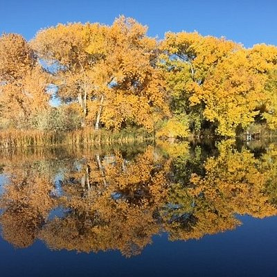 Rio Grande Cottonwoods reflected in the pond.