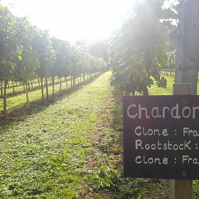 Chardonnay grapes are growing!