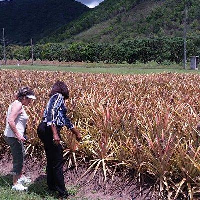 Tour of the Pineapple Farm