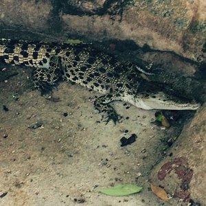Baby Croc.