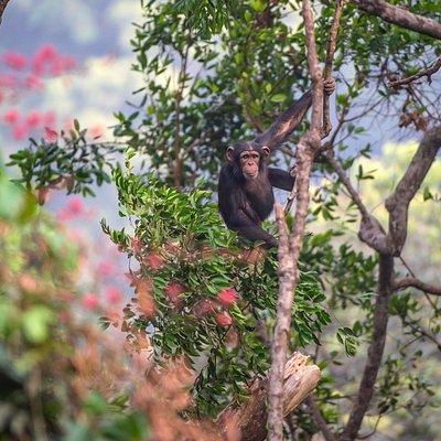 Young chimps looking at us at Tacugama