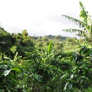 view of coffee plantation