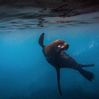 Australian Fur Seal in full flight on the Mornington Peninsula