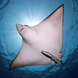 Eagle Rays for Eagle Divers by our awesome photographer Renata Romeo :-)