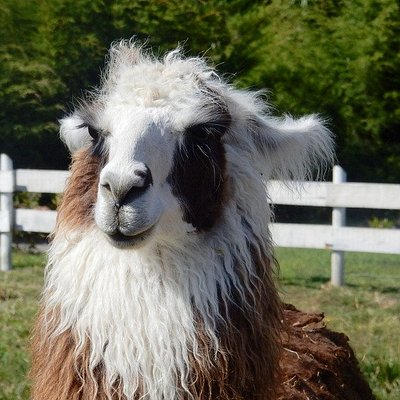 Visit friendly llamas