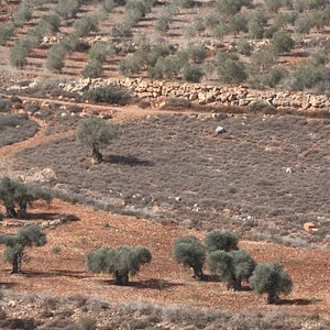 View from the top with some awesome olive trees in the foreground