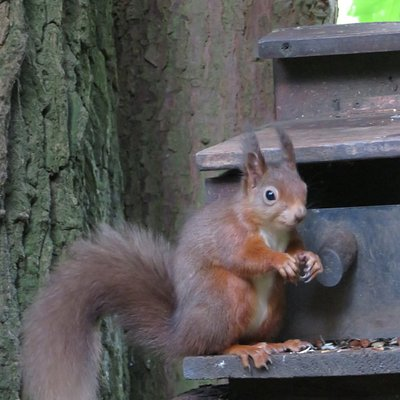 Red squirrel at Cluny House Gardens