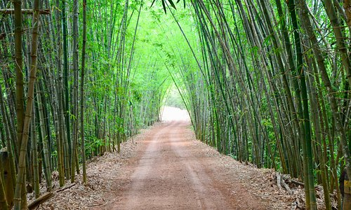 Renque de bambus