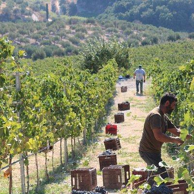 Harvesting grapes, 2016