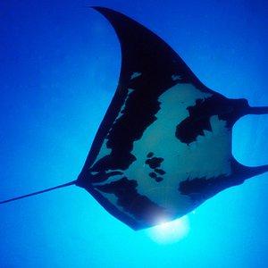 manta ray diving san jose del cabo
