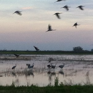 Sandhill cranes swooping in the flooded fields at Isenberg