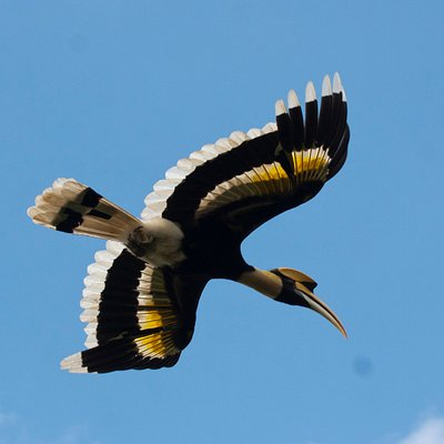 Great Hornbill in Flight, Mondulkiri