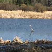 Blue Heron along Red Willow Trail