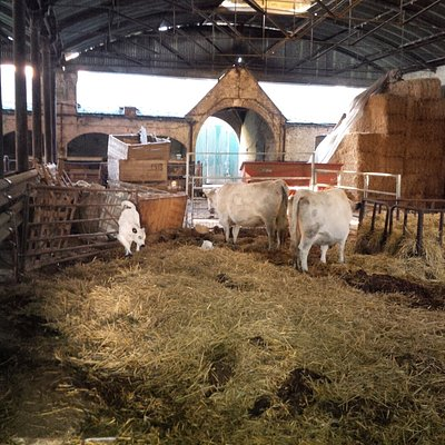 white cattle; cows and calf's