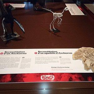 Reconstitution d'un Anchiornis et d'un squelette d'Anchiornis