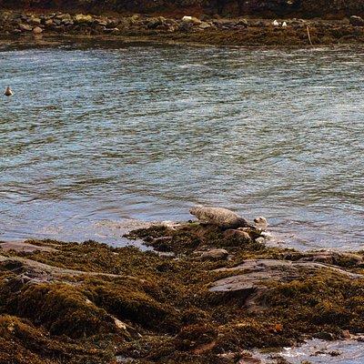 Seals in Portnahaven Bay