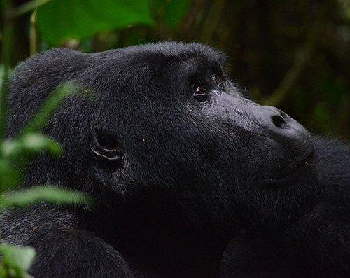 Gorilla tracking at Bwindi impenetrable Np /