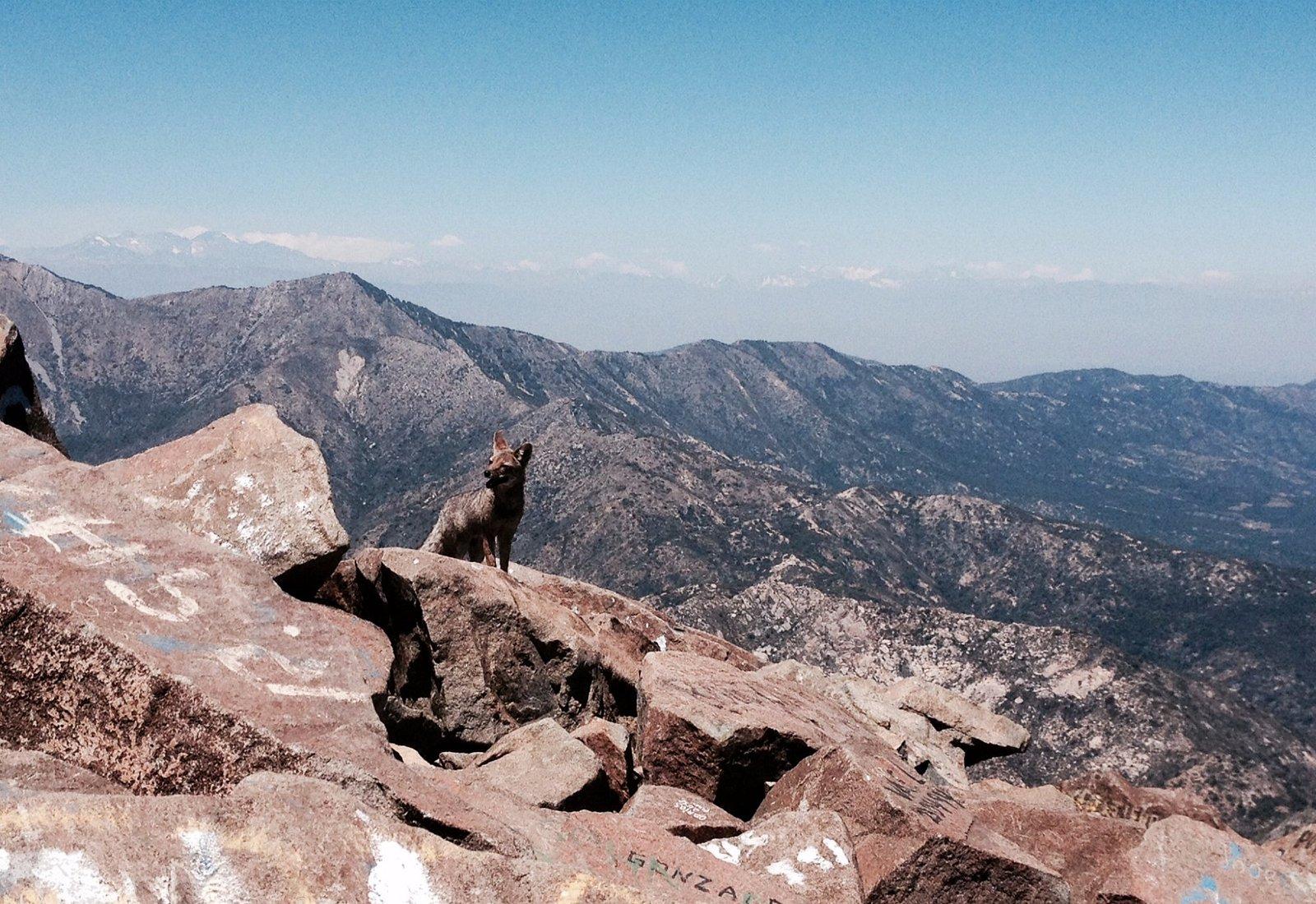 Zorro en la cumbre del cerro la Campana, Olmue