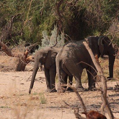 Ugab River - desert elephants seen at C35 (3)