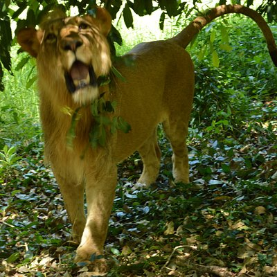 Passeggiata con i leoni