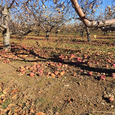 Lots of apples on ground at Sholan farms after picking season has ended.