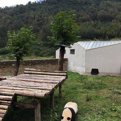A leisurely walking panda in Wolong Gengda Panda Base