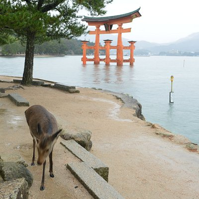Torii and deer groups are found along the beach
