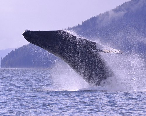 Humback whales love to jump (breach).