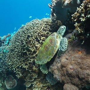 Apo Island Turtle