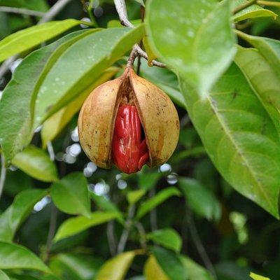a Ripe Nutmeg from our Nutmeg Farm