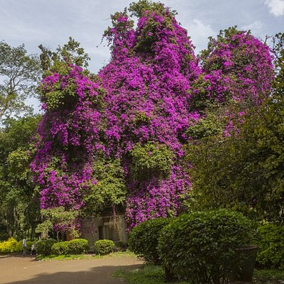Bougainvillea Are Stunning