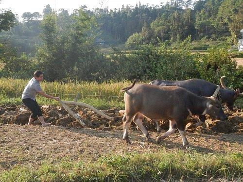 buffalo ploughs