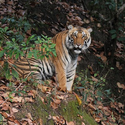 Huge male tiger from Bijrani