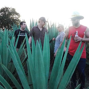 Discussing agaves