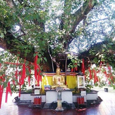 Pohon Bodi yang sangat besar