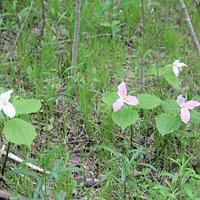 More trilium flowers