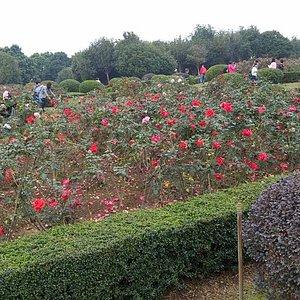 玫瑰園到處人山人海