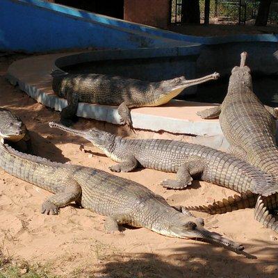 Indian crocodiles