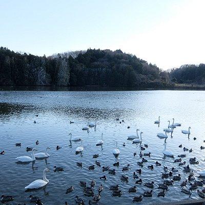 古徳溜池、白鳥がいっぱい