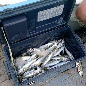 pesca allo sgombro