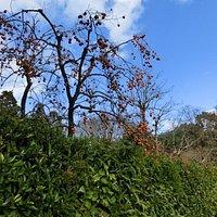 常寂光寺から竹林の散策路に向かう途中、生垣越しに眺めた落柿舎の柿です