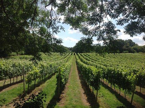 Pinot Noir, Meunière and Chardonnay vines