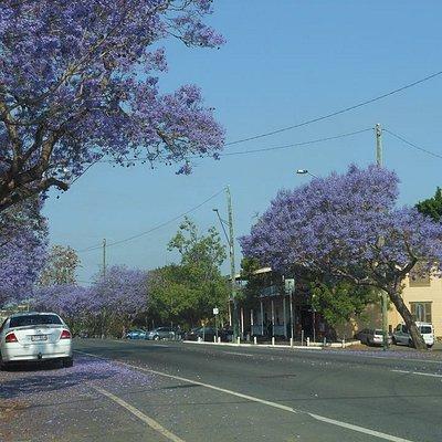 During Jacaranda trees flowering time on Brisbane Terrace