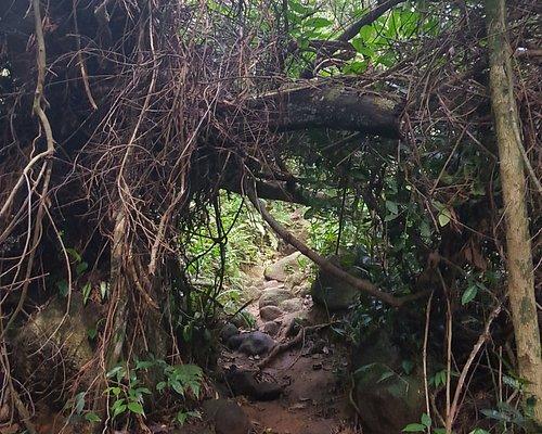 Muitos bambus na trilha