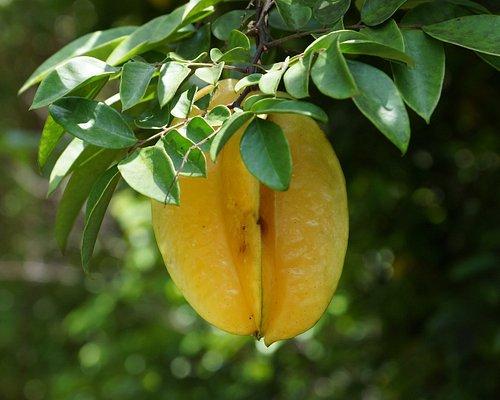 Frucht im Aitutaki Secret Garden